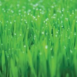 Gardening Tip: A Green, Healthy Lawn, Naturally
