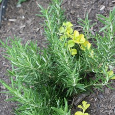 Best Homegrown Culinary Herbs: Growing Tips & Facts