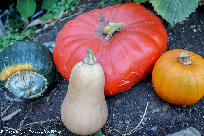 a buttercup, cinderella, butternut, and sugar pie pumpkin arranged on dirt in the garden